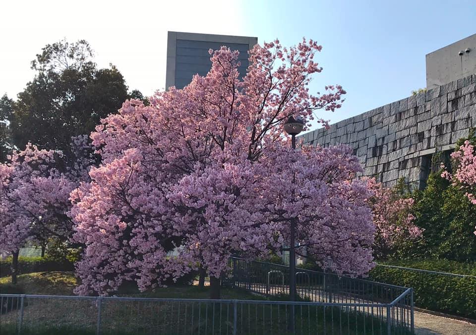 狭山池では桜が綺麗に咲いています (5)