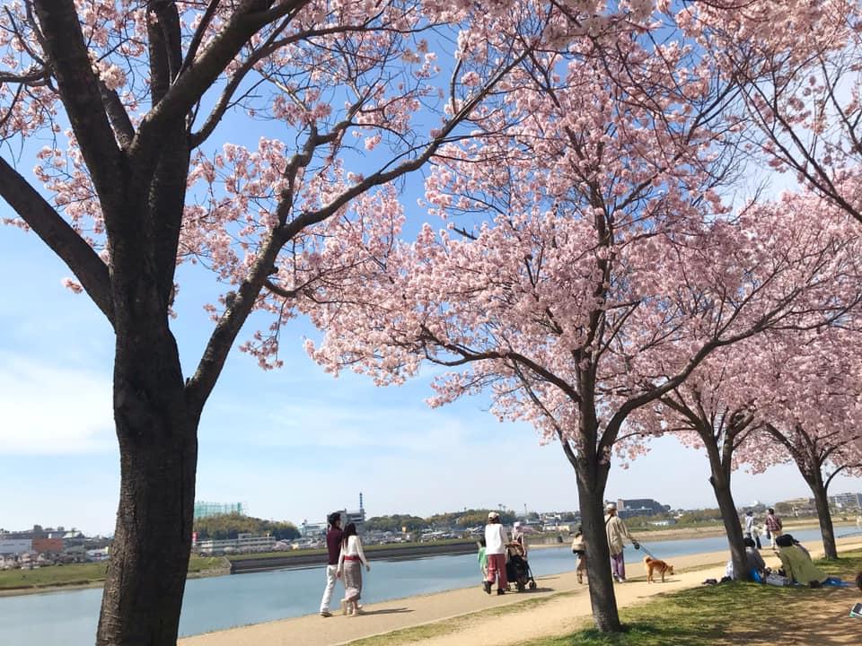 狭山池では桜が綺麗に咲いています (4)