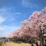 狭山池では桜が綺麗に咲いています (2)