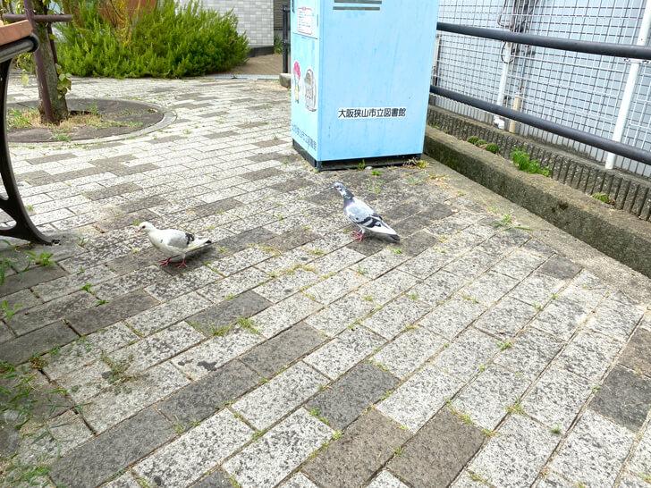 大阪狭山市駅前で「白いハト」を発見しました (8)