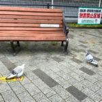 大阪狭山市駅前で「白いハト」を発見しました (7)