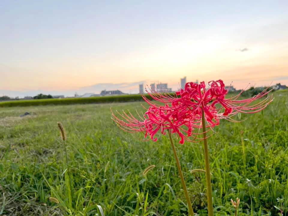 大阪狭山市内のとある田園風景と「彼岸花」 (2)