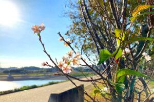狭山池の秋の桜-(112)