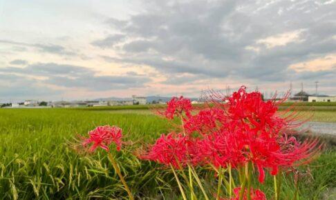 大阪狭山市内のとある田園風景と「彼岸花」 (1)