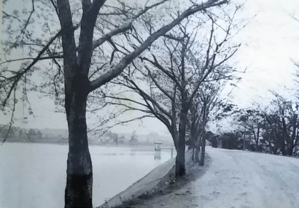昭和32年の狭山池北堤の桜