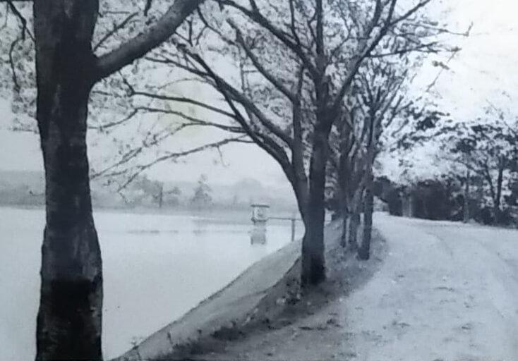 昭和32年の狭山池北堤の桜2 (1)